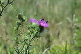 Bull Thistle (with bee's) — Stock Photo