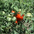 Field Tomato's (Red) — Stock Photo