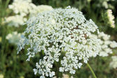 Queen Annes Lace — Stock Photo