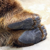Bear feet — Stock Photo