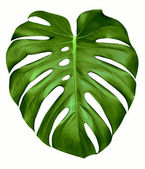 Folha de monstera. — Fotografia Stock