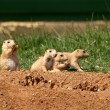 A family of Prairie Dogs — Stock Photo #5530907