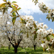 Stock Photo: Almond flower trees at spring