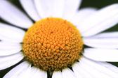 黄色的花甘菊 — 图库照片