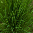 Close up of fresh thick grass with water drops in the early morn — Stock Photo