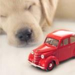 自動車保険のコンセプト。ne 眠っているゴールデン ・ リトリーバーの子犬 — ストック写真