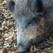 closeup of a boar pig — Stock Photo