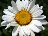 Closeup of a daisy — Stock fotografie