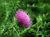 Pink thistle blossom — Stock Photo