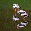 Two stork in the lake with their mirror image — Stock Photo #5422579