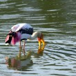 Stock Photo: One stork fishing