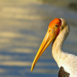 Stock Photo: Stork portrait