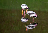 Two stork in the lake with their mirror image — Stock Photo