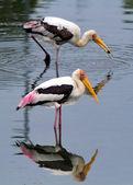 Standing storks — Stock Photo