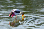 One stork fishing — Stock Photo