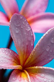 Frangipanni flowers with water droplet — Stock Photo