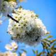 Royalty-Free Stock Photo: Appletree flower Bright white