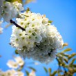 Stock Photo: Appletree flower Bright white