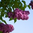 Blossom branch of a lilac — Stock Photo