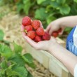 Picking of fresh organic strawberry in the field — Stock Photo #5934736
