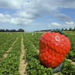 Strawberry field  in Germany with blue sky and clouds — Stock Photo