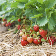 Foto Stock: Closeup of fresh organic strawberries growing on the vine