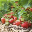 图库照片: Closeup of fresh organic strawberries growing on the vine