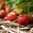 Closeup of fresh organic strawberries growing on the vine — 图库照片