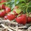 Closeup of fresh organic strawberries growing on the vine — Stok fotoğraf