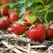Closeup of fresh organic strawberries growing on the vine — Stock Photo #5934771