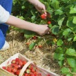 Stock Photo: Picking of fresh organic strawberry