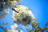 Appletree flower Bright white — Stock Photo