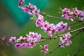Blooming pink flowers in spring — Stock Photo