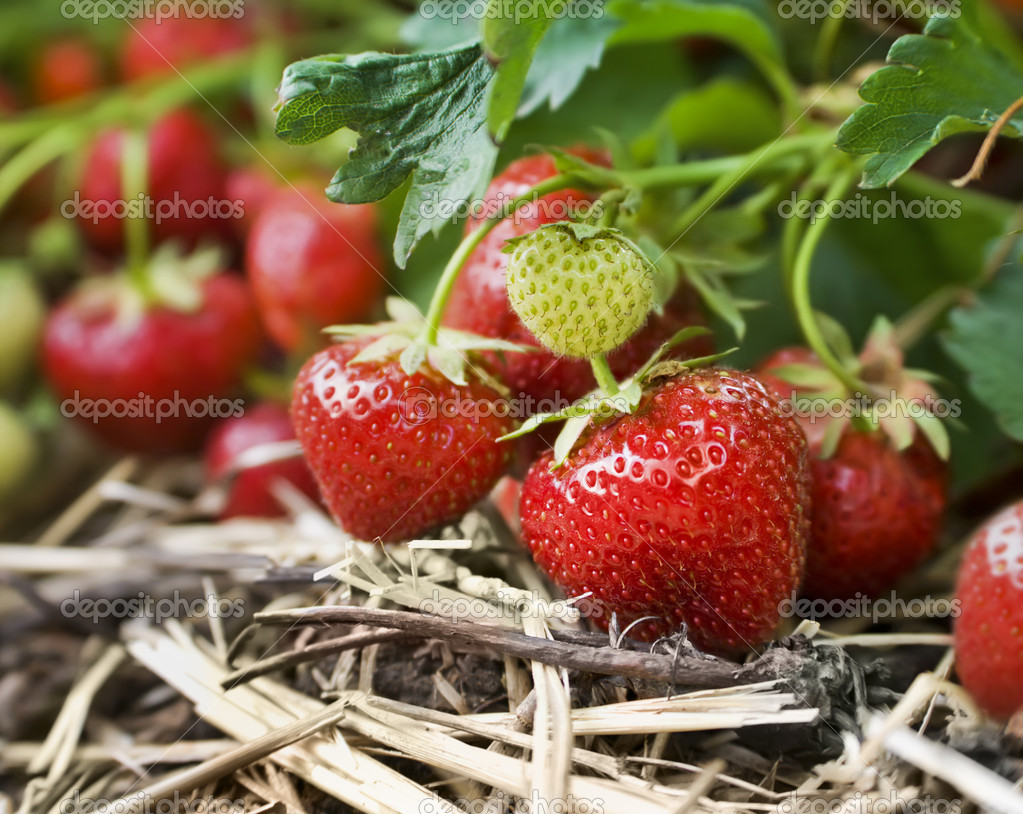 Closeup of fresh organic strawberries growing on the vine — Lizenzfreies Foto #5934771