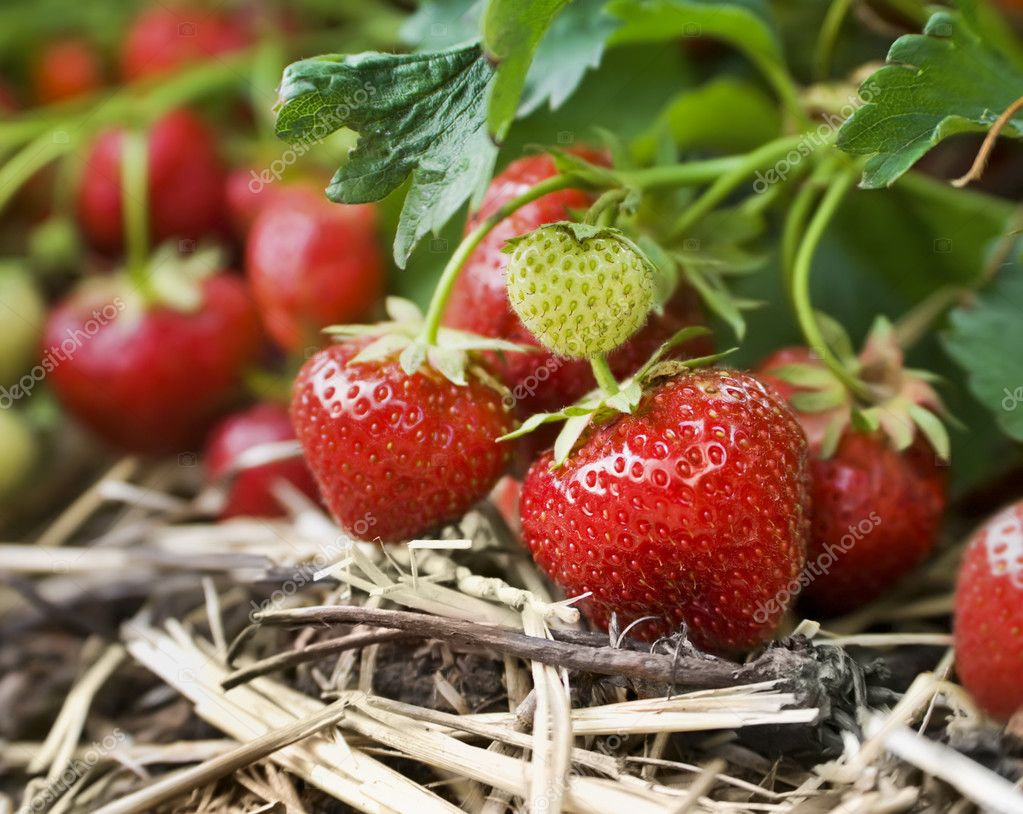 Closeup of fresh organic strawberries growing on the vine — Stockfoto #5934771