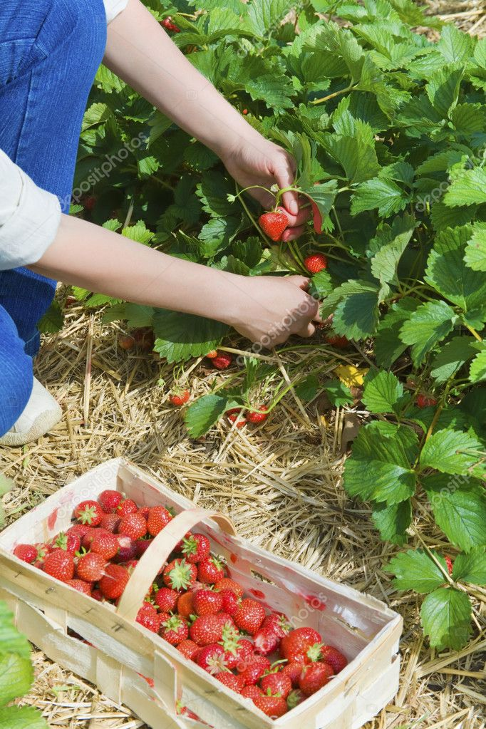 Picking  of fresh organic  strawberry in the field — Stock Photo #5934799