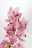 Soft pink orchid on — Stock Photo