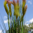 Постер, плакат: Close up of Dwarf Fountain Grass