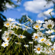Stock Photo: Daisy flowers in summer