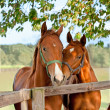 Two horses in paddock — Stock Photo #6041143