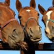 Three  heads of a horses — Stock Photo