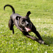 Black Dog Running in Countryside — Stock Photo