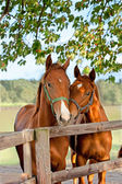 Two horses in paddock — Stock Photo