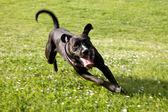 Zwarte hond uitgevoerd in platteland — Stockfoto