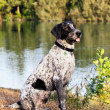 Portrait of German Short Hair Pointer — Stock Photo