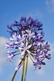 Beautiful blue flowers Agapanthus on a background blue sky — Stock Photo