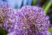 Allium giganteum — Stock Photo