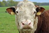 Vaca Angus pastando en campo — Foto de Stock