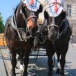 Elegant horses harnessed in stroller — Stock Photo