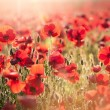 Tuscan red poppies - Stock Photo